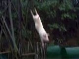 Chinese Farmer Trains Pigs To Dive