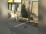 'Zoo' York City: Zebra, Pony Run Wild On Staten Island