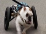 Bulldog Battles Cancer, Inspiring Others