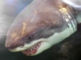 Great White Shark Population Grows: Should Beachgoers Worry?