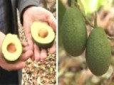 How California Drought May Impact Avocado Harvest