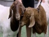 'Goats For The Old Goat' Feeds Family For Mother's Day