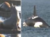 'Killer Whale' Vs. Sea Lions: Comical Effort To Rid Pests
