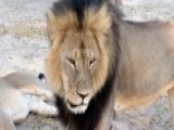 2nd American Accused Of Illegally Killing Lion In Zimbabwe