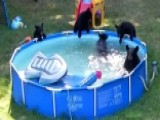 'They Took My Floaty!' Bears Take Over Pool To Beat The Heat