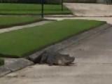 10-foot- Alligator Wanders Through Louisiana Neighborhood
