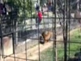 'You're A Moron': Woman Jumps Into Tiger Exhibit To Grab Hat