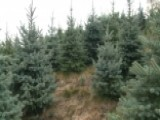 Christmas Trees Farmers Nervously Eye Northeast Drought