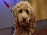 Meet The Goldendoode: The Breed That May Become First Dog