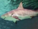 Expert Calls For Non-killing System Separate Sharks, People