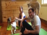 'Baaamaste': Baby Goat Yoga Trend Blows Up In Colorado
