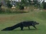 10-foot Alligator Interupts Golf Game