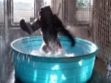Spin Cycle: Gorilla's Water Play Goes Viral