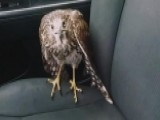 'Harvey The Hawk' Seeks Refuge In Car Ahead Of Hurricane