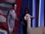 Jesse Watters Tries Alpaca Therapy
