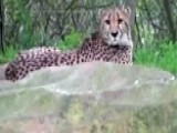 2-year-old Falls Over Railing Into Cheetah Exhibit