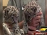 Across America: Snow Leopard Cubs Make Big Debut In Tenn