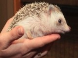 After The Show Show: Hedgehogs