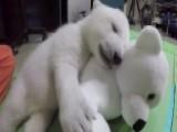 Abandoned Polar Bear Cub Gets Lots Of Love