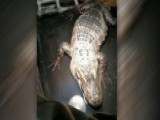 Alligator Evicted From Illinois Man's Home