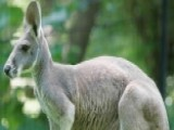 Australian Teen Planned To Pack Bombs In Kangaroo's Pouch