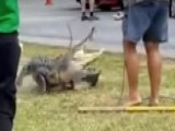 Angry Alligator Closes School, Fights Trapper
