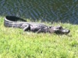 Alligator Found With Body In Its Mouth Near Florida Lake