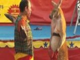 Boxing Kangaroo Draws Crowds, Critics