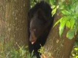 Baby Black Bear Causes Chaos On College Campus