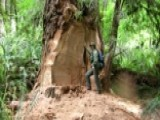 Burl Poachers Threaten Majestic Redwoods In California