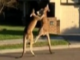 Boxing Kangaroos Duke It Out In Australian Suburb