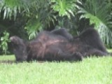 Bear Passes Out In Food Coma After Eating Bag Of Dog Food