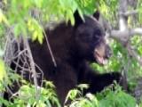 Boulder Increases Bear-resistant Trash Can Enforcement