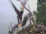 Bald Eagle Steals Osprey Chick From Nest In Quick Strike