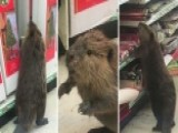 Beaver Wreaks Havoc At Dollar Store