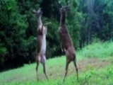 Bucks Go Hoof-to-hoof: Trail Camera Catches Epic Fight