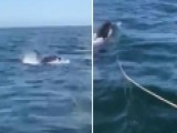 Boater Captures Terrifying Encounter With Orca