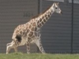 Baby Giraffe Escapes Zoo Enc 00004000 Losure, Runs Wild In Parking Lot