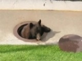 Bear Gets Stuck In Manhole