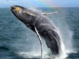 Breaching Humpback Puts On Show For Whale Watchers