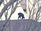 Chimps Make Ladder Out Of Tree Branch To Escape From Zoo