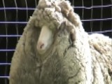 Could Shaun Be The Wooliest Sheep In The World?