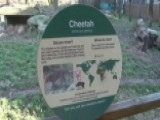 Close Call For Toddler Who Tumbled Into Cheetah Exhibit