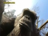 Chimpanzee At Dutch Zoo Knocks Down Surveillance Drone