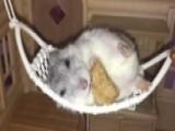 Chillest Hamster Ever?