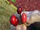 Cranberries' Journey From Bog To Your Table