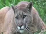 Courageous Mom Fights Off Mountain Lion Attacking Her Son