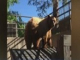 Colorado Man Surprised By Massive Dumpster-diving Brown Bear