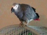 Can Parrot's Words Be Used As Evidence In Murder Trial?