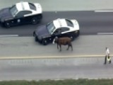 Cow Stops Traffic On Florida Turnpike
